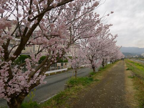 春木径・幸せ道の桜3.jpg