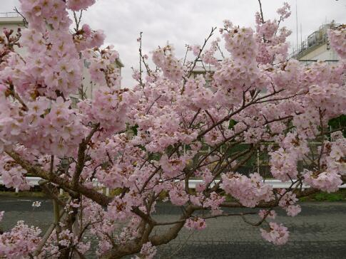 春木径・幸せ道の桜4.jpg