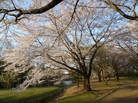 智光山公園桜の園2.jpg