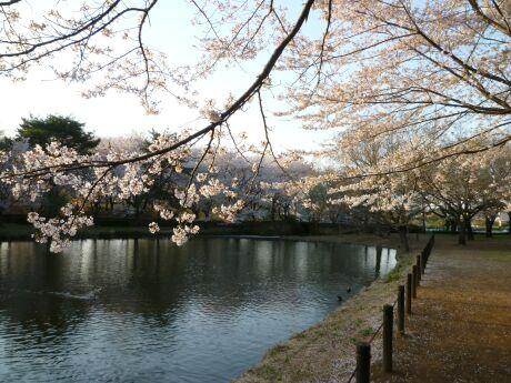 智光山公園桜の園3.jpg