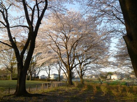 智光山公園桜の園4.jpg