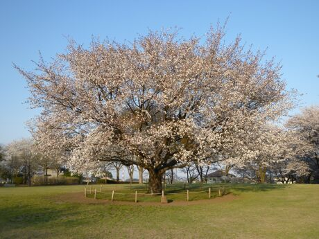 智光山公園桜の園5.jpg