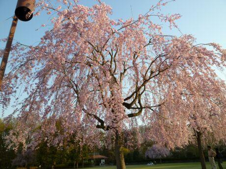 智光山公園桜の園6.jpg
