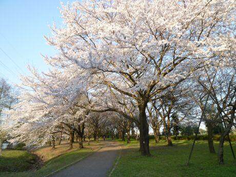 智光山公園桜の園1.jpg