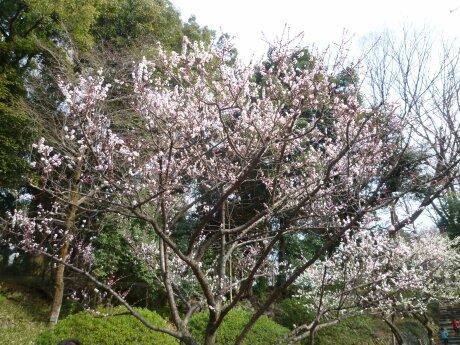 有栖川宮記念公園の梅2.jpg