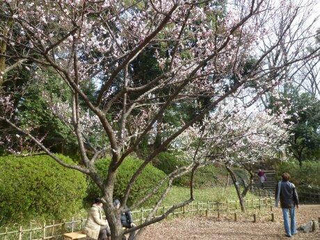 有栖川宮記念公園の梅3.jpg