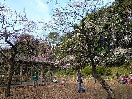 有栖川宮記念公園の梅5.jpg