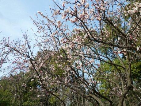 有栖川宮記念公園の梅6.jpg