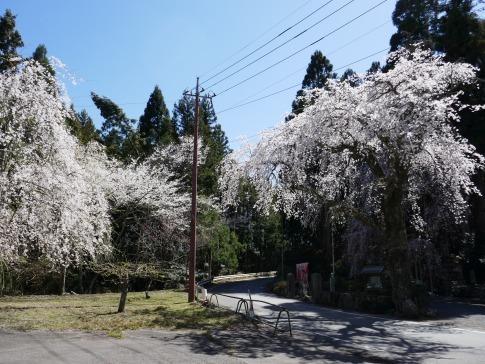 朝日堂の桜.jpg