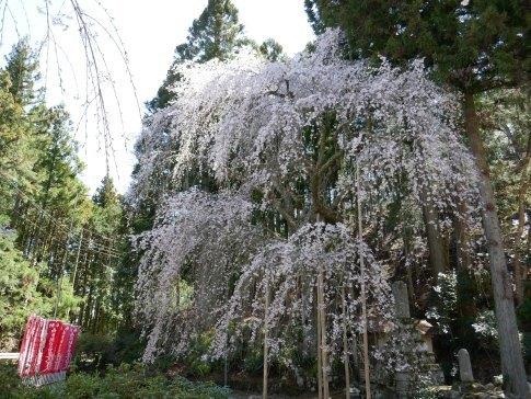 朝日堂の桜1.jpg