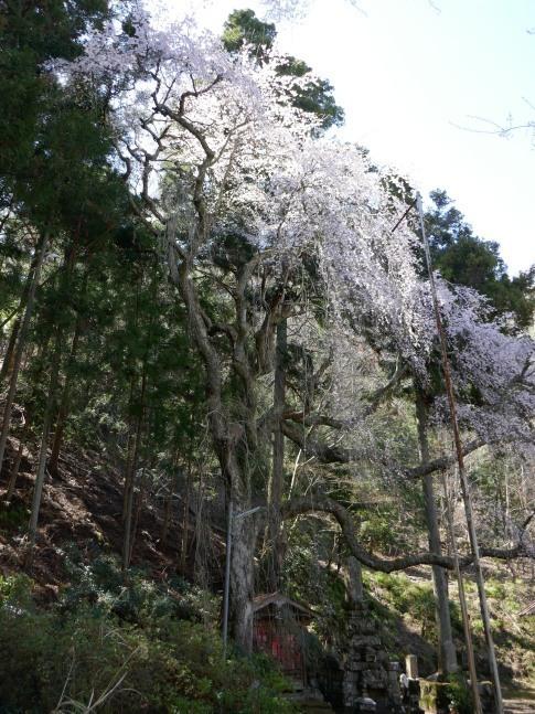 朝日堂の桜2.jpg