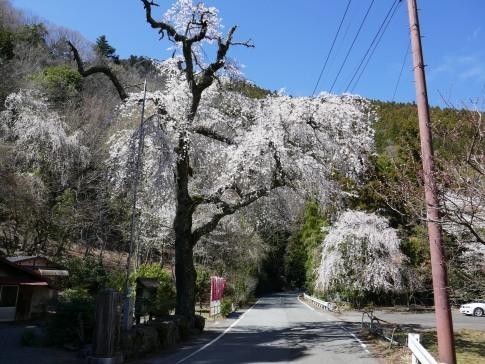 朝日堂の桜5.jpg