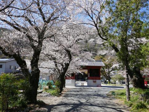 本遠寺 桜.jpg