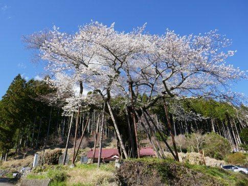 本郷の千年桜.jpg