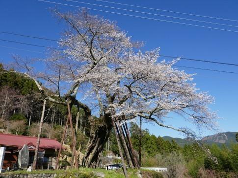 本郷の千年桜2.jpg