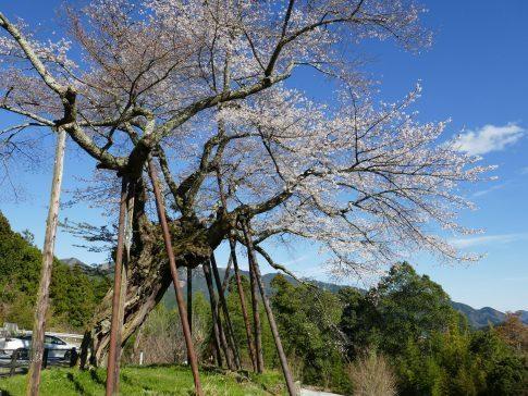 本郷の千年桜3.jpg