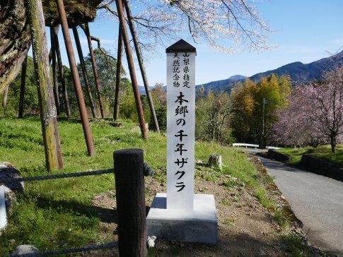 本郷の千年桜5.jpg