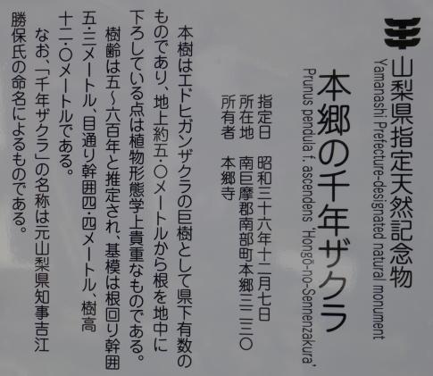 本郷の千年桜6.jpg