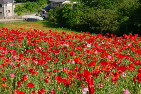 東松山農林公園のポピー1.jpg