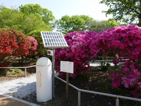 松が岬公園つつじ.jpg