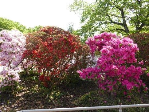 松が岬公園つつじ2.jpg