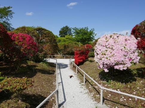 松が岬公園つつじ4.jpg