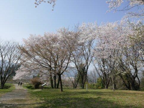 松岡城址 桜3.jpg