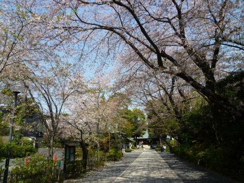 松陰神社の桜3.jpg