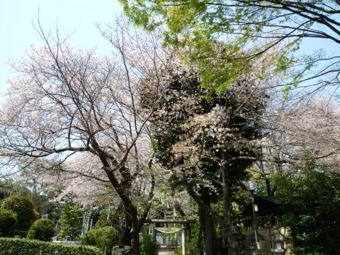 松陰神社の桜4.jpg