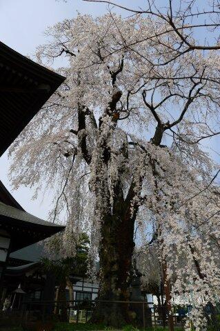林昌寺(中之条) 枝垂れ桜3.jpg