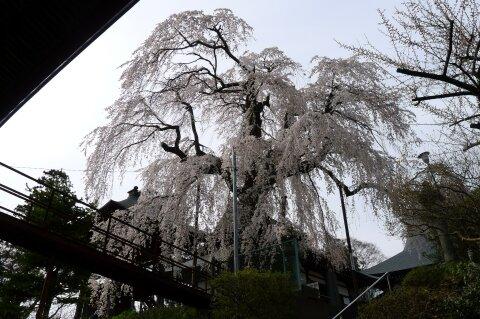 林昌寺(中之条) 枝垂れ桜4.jpg