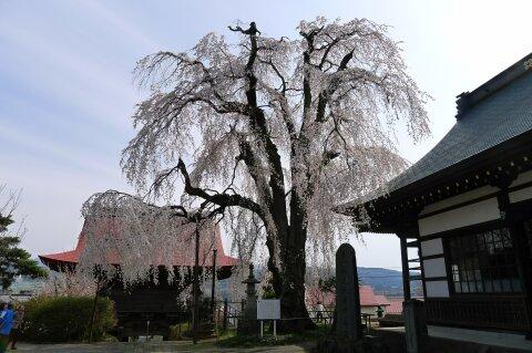 林昌寺(中之条) 枝垂れ桜1.jpg