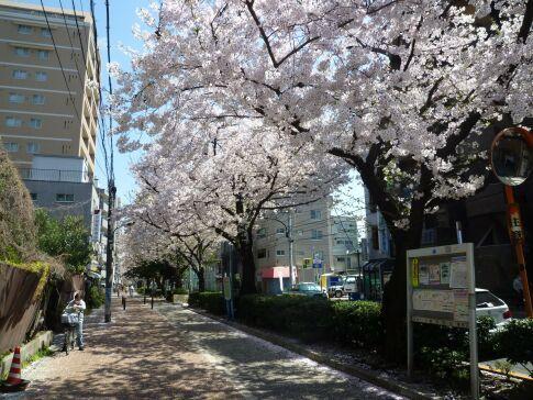 桜台の桜2.jpg