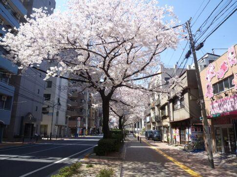 桜台の桜3.jpg