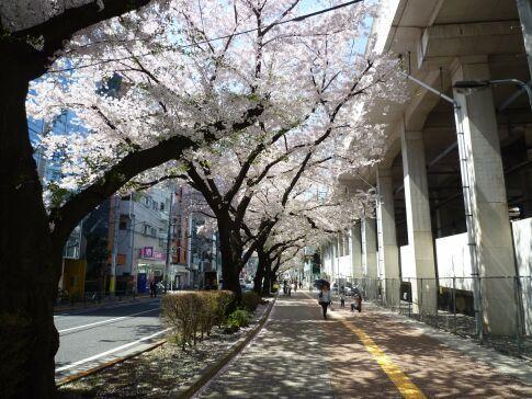 桜台の桜5.jpg