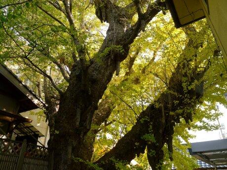 正円寺の大イチョウ2.jpg
