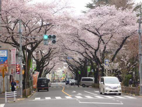 武蔵境の桜2.jpg