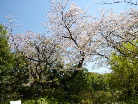 毛利庭園の桜2.jpg