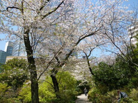毛利庭園の桜3.jpg
