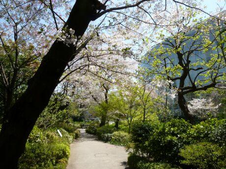 毛利庭園の桜1.jpg