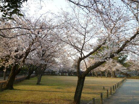 水前寺成趣園 桜2.jpg