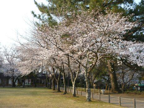 水前寺成趣園 桜4.jpg