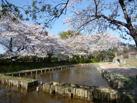 水城公園の桜2.jpg