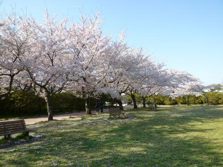 水城公園の桜3.jpg