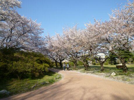 水城公園の桜4.jpg