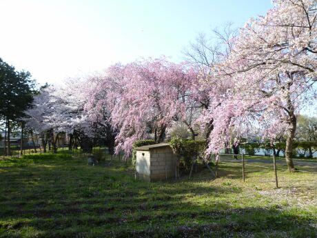 水城公園の桜6.jpg