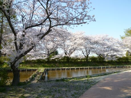 水城公園の桜1.jpg