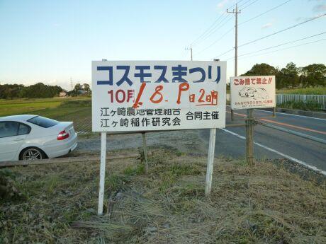 江ヶ崎のコスモス畑5.jpg