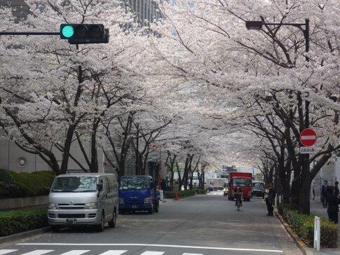江戸桜通りの桜3.jpg