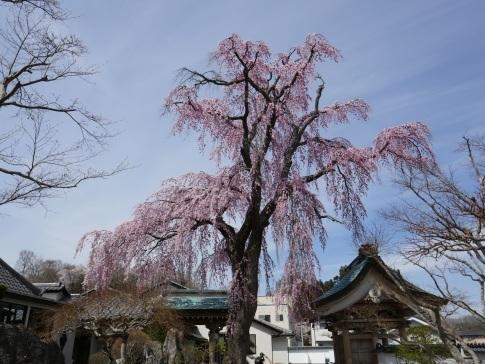 法華寺の桜.jpg
